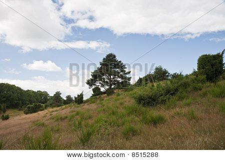 Pine on a hill in the nature reserve at Mols Denmark poster