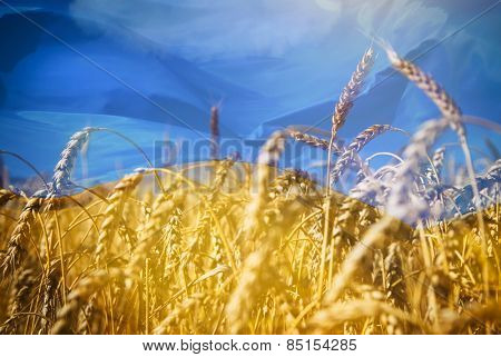 Flag of Ukraine and field of gold wheat under blue sky
