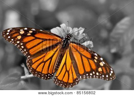 Dorsal view of a female Monarch butterfly feeding on Zinnia flower; color spot on black and white