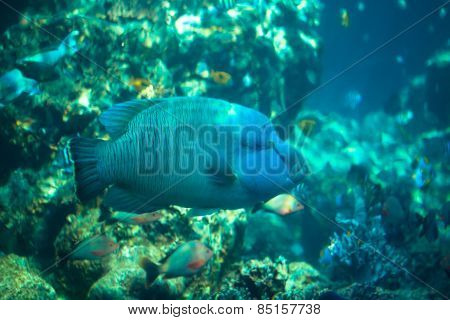 Napoleon fish in Okinawa Churaumi Aquarium