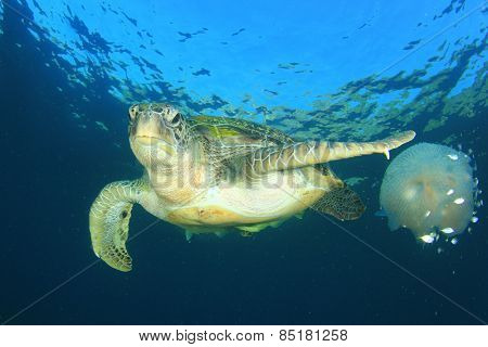Green Sea Turtle eats large pelagic Jellyfish