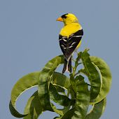 golden finch perched on a leaf with sky blue background poster