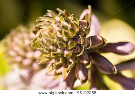 Hosta Buds And Flowers Close Up