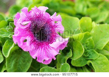 Petunia Pink Stripy Flower