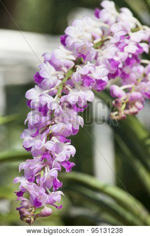 Rhynchorides Memoria Suranaree Orchid