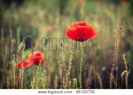 Beautiful Red Corn Poppy Flowers (papaver Rhoeas)