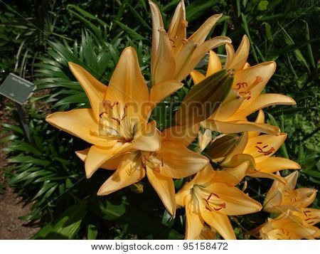 Ginger lily