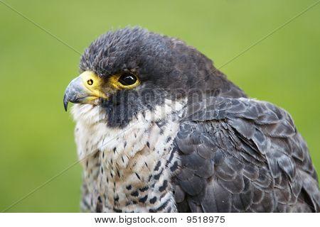 Hover Hawk