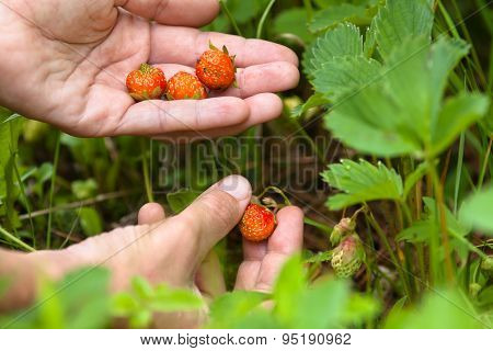 women hand gathering of forest strawberries closeup poster