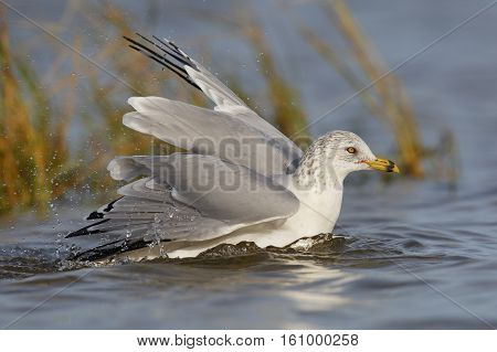 Ring-billed Gull Bathing In A Shalow Pond - Florida