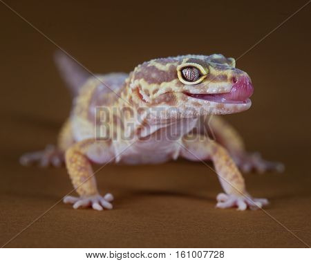 Macro of a pretty gecko with the tongue out