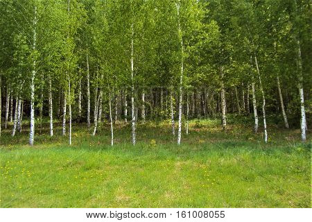Young green birch trees in early spring.