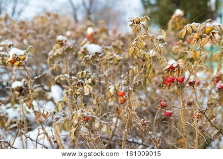 The dog rose bush covered with white snow in sunny, winter day