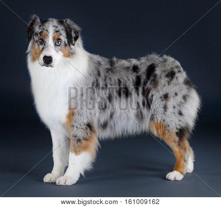 Pretty Australian merle sheepdog portrait in studio
