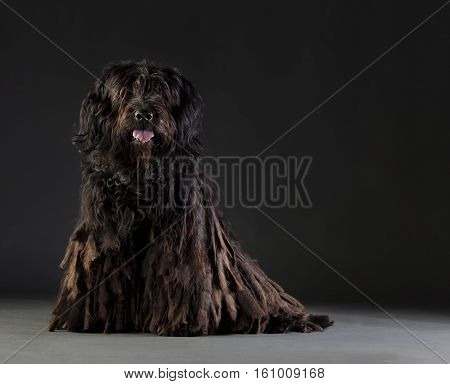 Bergamasco sheepdog portarit in studio with black background