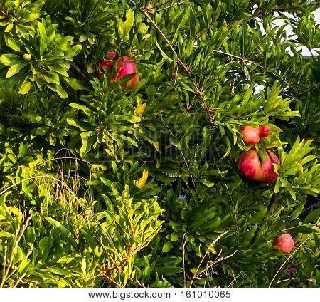 pomegranates ripen in the hot summer sun