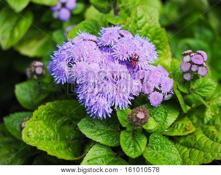 Ageratum after rain, background with ageratum flowers after rain
