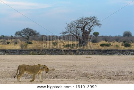 lion in Ruaha national park, Tanzania, Africa