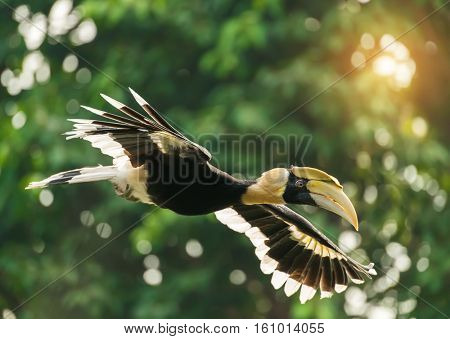Great hornbill in rainforest