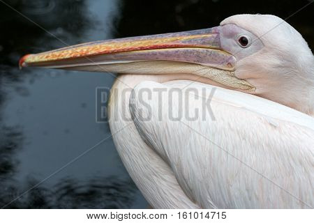Portrait of rosa pelican. Photography of wildlife.