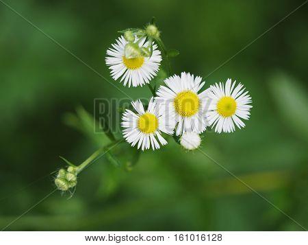 Aspen Fleabane (erigeron alpinus speciosus green flowers)
