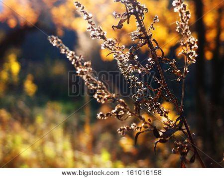 autumn branch wormwood backlit, dry twig wormwood