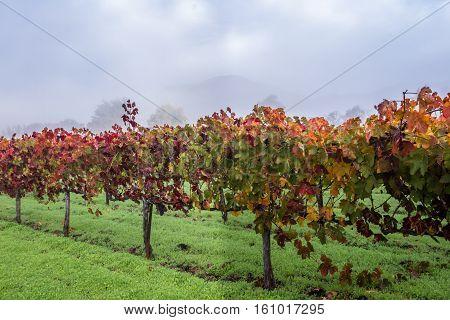 Autumn Vineyard In The Morning