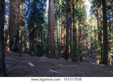 Giant Sequoias In California