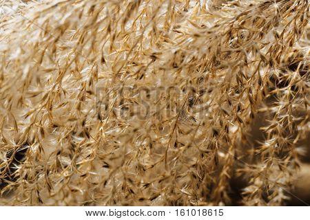 Flower of ornamental grass in golden light