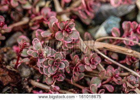 Sedum spurium stonecrop dark red two coloured
