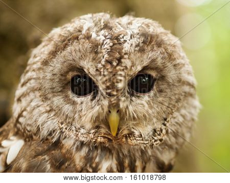 Face of young tawny owl - Strix aluco