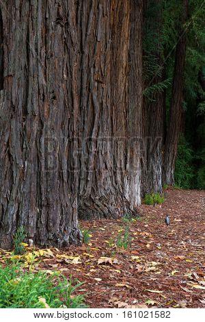 Row Of Redwood Trees