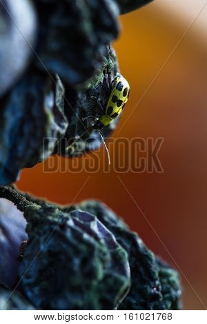 Small Yellow Insect On A Rotten Grape