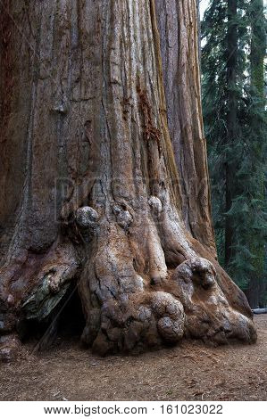 Base Of A Giant Sequoia