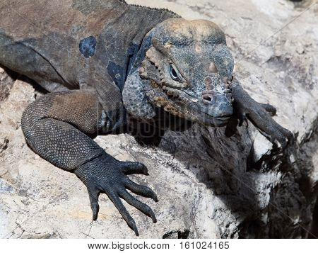 Rhinoceros iguana, aka Goliath Dragon, Cyclura cornuta, threatened species of lizard of Caribbean lying on the rock, Dominican Republic, Central America