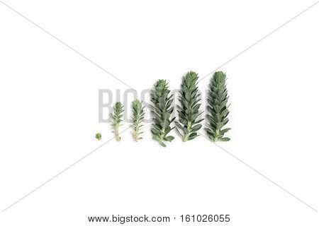 Pattern of blue succulent plants (spurge) arranged on white background top view. Flat lay