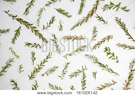 Pattern with branches leaves and petals isolated on white background. Flat lay top view. Arrangement of gray grefsheim (spiraea cinerea) plant.
