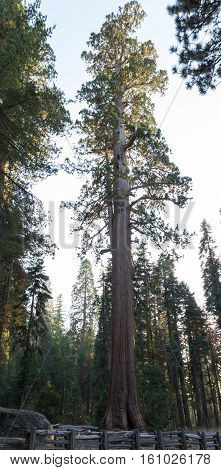 Giant Tree In Sequoia Np