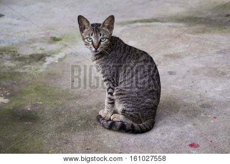 Wild and homeless cat on asphalt floor. Abandoned cat looking in camera. Adopt a cat concept photo. Grey cat with green eyes. Domestic cat lost. Adoption of a pet. City animal picture with text place