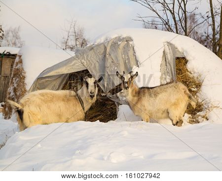 Two goats near haystacks in the winter yard