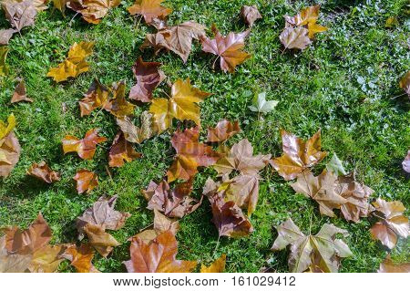 Yellow, dry autumn leaf litter on a green field