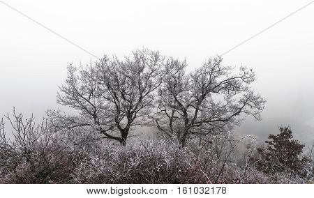 December In Vineyards. Magic Frozen Branches Covered By  Frost.