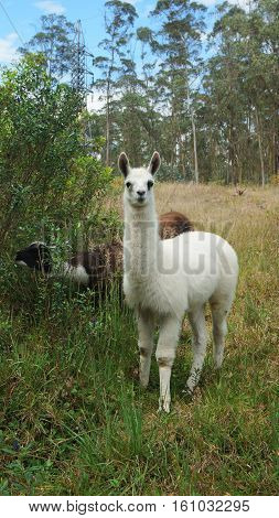 Baby llama with trees in background (Scientific name: Lama glama) is a domesticated South American camelid, widely used as a meat and pack animal by Andean cultures