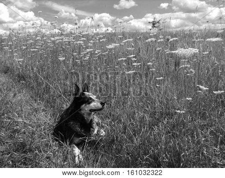 blue heeler in a field of flowers