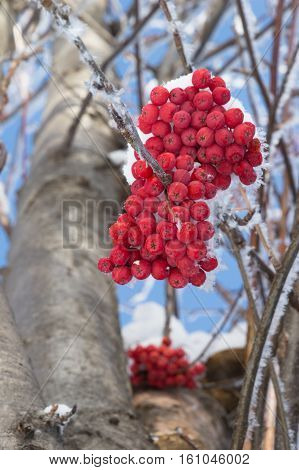 Close up of two large clumps of snow covered orange mountain ash berries from below hanging near the tree trunk. Individual snowflakes line some of the branches. Blue sky is in the background. Shallow depth of field.
