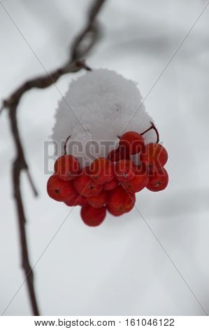 Small clump of snow covered orange mountain ash berries on a branch that is blurred in the background. The branch is bare. Gray sky is in the background. Shallow depth of field.
