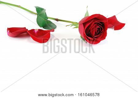 single rose laying on white background for design
