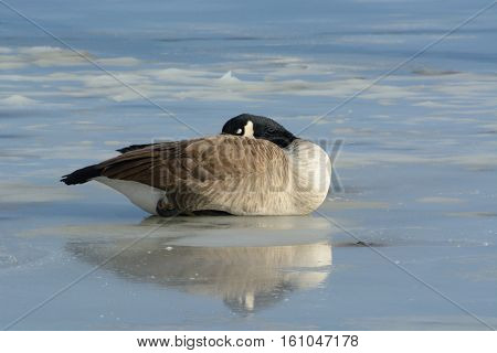 Resting but alert Canada goose and reflection on frozen winter icy lake