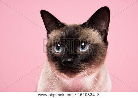 siamese cat portrait in dark pink background