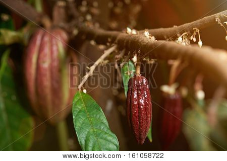 Small cacao red pod on cocoa young tree with flowers